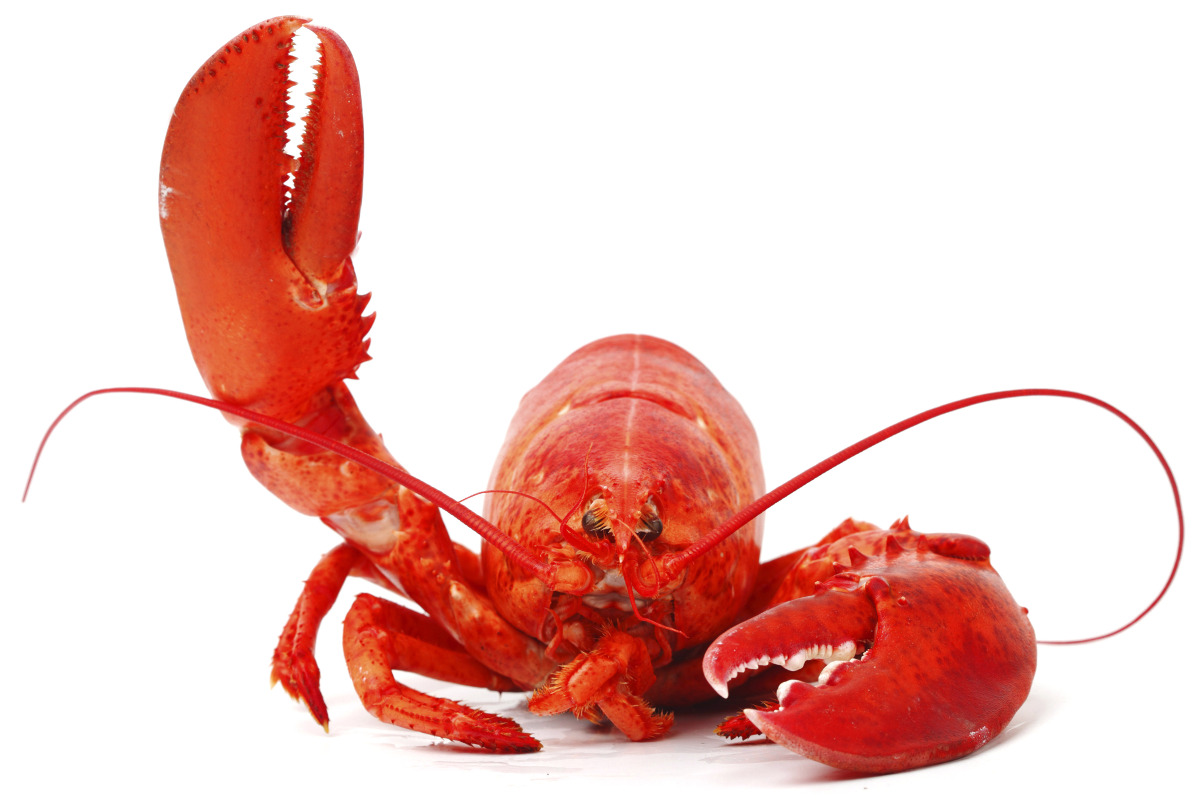 https://novimarinebrokers.com/storage/files/02/71/65/Lobster.jpg