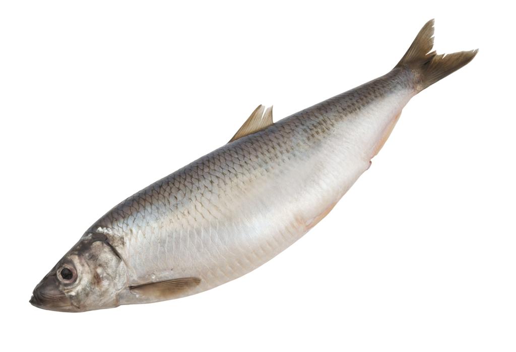 https://novimarinebrokers.com/storage/files/02/72/45/Herring.jpg